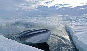 frozen-planet-minke-whale-590x350